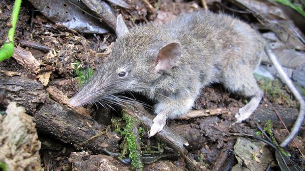 Nezvyčajná krysa